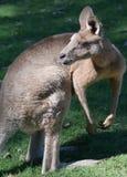 australijski kangur Obraz Royalty Free