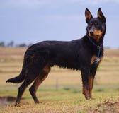 Australijski Kelpie pies obrazy stock