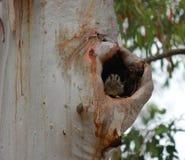 Australijski kozodoju ` Aegotheles cristatus ` w drzewnym wydrążeniu fotografia stock