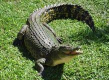 australijski krokodyl Fotografia Royalty Free