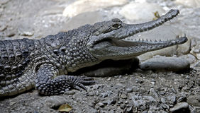 Australijski krokodyl 12 Obrazy Royalty Free