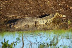 Australijski krokodyl Obraz Royalty Free