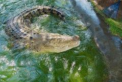 Australijski krokodyl w wodzie w Queensland, Australia Obrazy Royalty Free