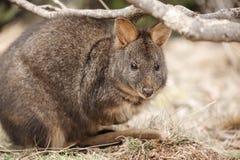 Australijski krzaka wallaby outside podczas dnia fotografia stock