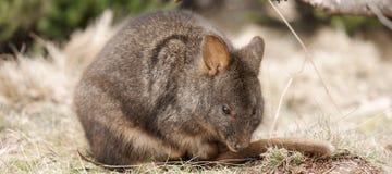 Australijski krzaka wallaby outside podczas dnia zdjęcie stock