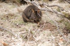 Australijski krzaka wallaby outside podczas dnia fotografia royalty free