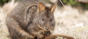 Australijski krzaka wallaby outside podczas dnia obraz royalty free