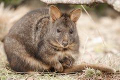 Australijski krzaka wallaby outside podczas dnia zdjęcie royalty free