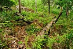 australijski las Zdjęcia Stock