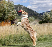 Australijski Pasterski łapanie jej dysk Zdjęcia Royalty Free