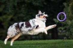Australijski pasterskiego psa bieg w parku obraz royalty free