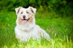 Australijski pasterskiego psa portret Zdjęcie Stock
