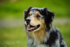 Australijski Pasterskiego psa zakończenie w górę portreta Zdjęcia Royalty Free