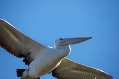 australijski pelikan Obraz Royalty Free