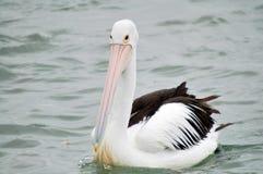 australijski pelikan obraz stock