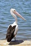 australijski pelikan Obrazy Stock