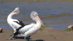 Australijski pelikan przy kangur wyspą, Australia zbiory wideo