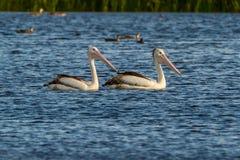 Australijski pelikan w jeziorze obraz royalty free