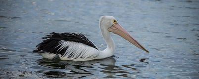 Australijski pelikana dopłynięcie w morzu z kangur wyspy obraz stock