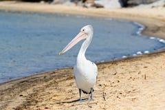 Australijski pelikana wodnego ptaka odprowadzenie na Nornalup wpusta plaży w Walpole, zachodnia australia obrazy royalty free