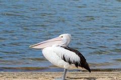 Australijski pelikana wodnego ptaka odprowadzenie na Nornalup wpusta plaży w Walpole, zachodnia australia zdjęcia stock