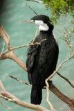 Australijski pied kormoran, Phalacrocorax varius, Nowa Zelandia Południowa wyspa Zdjęcie Stock