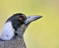 australijski ptasi portret Zdjęcie Stock