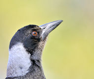 australijski ptasi portret Obraz Stock
