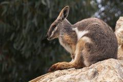 australijski rockowy wallaby obraz royalty free