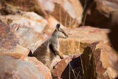 australijski rockowy wallaby zdjęcia stock