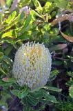 Australijski rodzimy Banksia serrata kwiat Obrazy Royalty Free