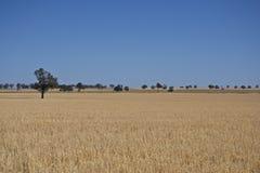 Australijski rodzimy drzewo w siano łące blisko Parkes, Nowego fotografia royalty free