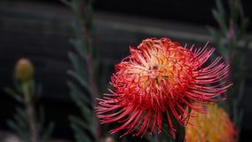 Australijski Rodzimy Wildflower - Banksia Obrazy Royalty Free