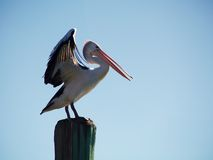 Australijski Rzeczny pelikan obraz royalty free