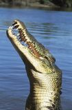 Australijski Saltwater krokodyl w rzece Obraz Stock