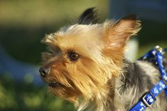 Australijski Silky Terrier Zdjęcie Stock