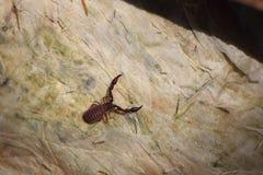 Australijski skorpion Zdjęcia Royalty Free