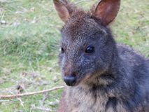 Australijski Tasmanian Pademelon Zdjęcia Royalty Free