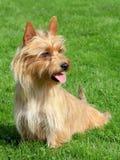 Australijski Terrier w ogródzie zdjęcie royalty free