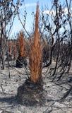 Australijski trawy drzewo, Xanthorrhea, po bushfire Obraz Stock