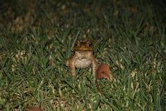 Australijski trzcina kumak Zdjęcia Royalty Free