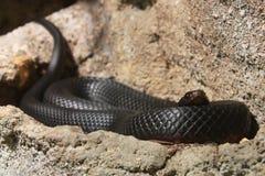 Australijski wąż Obraz Royalty Free