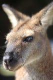 australijski wallaby Obrazy Royalty Free