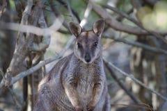 australijski wallaby Zdjęcia Stock