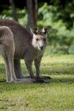 Australijski Wschodni Popielaty kangura Macropus Giganteus gapi się przy kamerą Zdjęcia Royalty Free