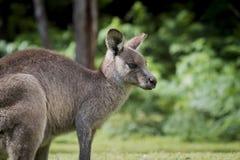 Australijski Wschodni Popielaty kangura Macropus Giganteus stawia czoło dobrze Zdjęcia Royalty Free