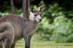 Australijski Wschodni Popielaty kangura Macropus Giganteus stawia czoło dobrze Zdjęcie Stock