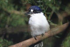 Australijski zimorodek Obraz Stock