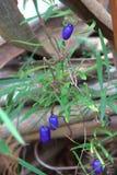Australijskie rodzime jagody Zdjęcia Royalty Free