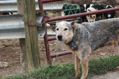 Australijskiego bydła psi pomagać na gospodarstwie rolnym Zdjęcie Stock